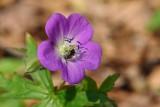 Wild Geranium 1