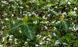 Fringed Phacelia & Yellow Trillium