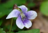 Bi-color Violet 2