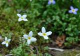 White Bluet