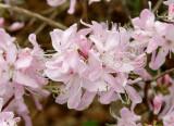 Pink Shell Azalea 4