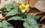 Yellow Violet 1
