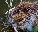 0048-Beaver.jpg