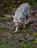 0030-Coyote.jpg