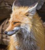 004-Fox.jpg