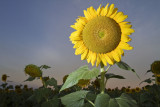 Sun Flowers and Sunrises with AusPhotography