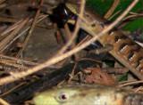Lizard Eats Black Widow Spider