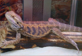 Pet Shop Lizard