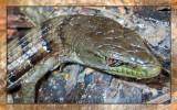 Lizard in the Wood Pile