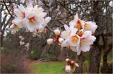 Plum Blossom '10