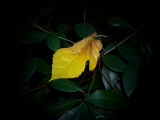 Anonymous Yellow Leaf