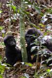 Bwindi Mountain Gorilla-676.jpg