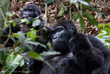Bwindi Mountain Gorilla-700.jpg