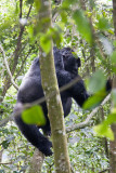Bwindi Mountain Gorilla-75.jpg