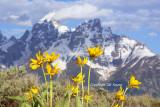 Teton blooming