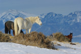 Wintering wild horses.jpg