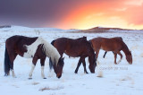 Wild horses and winter sunset.jpg