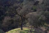 California Oak - Napa County, California