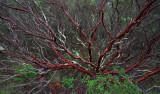 Manzanita in Winter - Sugarloaf Ridge State Park, California