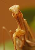 Praying mantis 3213
