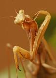 Praying mantis 3216