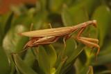Praying mantis 3236