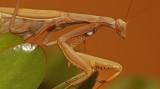 Praying mantis 3269