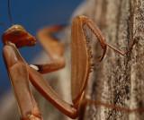 Praying mantis 3292