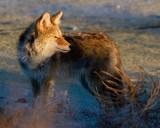 Coyote at Antelope Island