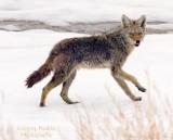 coyoterunning.jpg