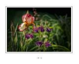 Iris3.jpg