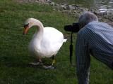 Stalking Swans