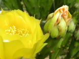 My Prickly Pear