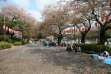 Ueno Park at cherry blossom time