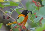 Blackbirds, cowbirds, grackles, orioles, meadowlarks