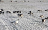 Ross' Goose and Barnacle Geese