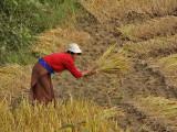 Cutting and Stacking Rice Punakha