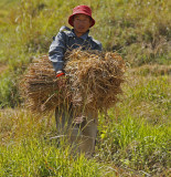 Carrying Rice to Stack