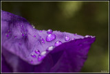Iris sibirica macro
