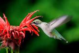 Colibri a gorge rubis