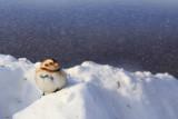 Bruant des neiges