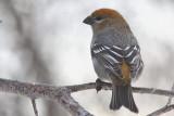 Durbec des sapins - Pine Grosbeak