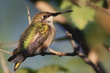 Colibri a gorge rubis - Ruby-throated Hummingbird