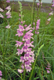 False Dragonhead