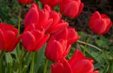 Tulips in the garden April 2009