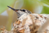 hummer in the nest
