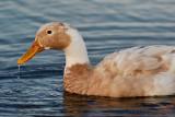 drippy duck