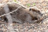beaver munching seeds