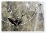 1 Osprey, 2 Cormorants