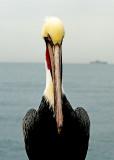 Pelican on the Pier #4